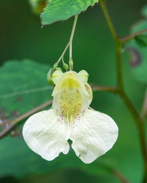 Pale Jewelweed - white variety