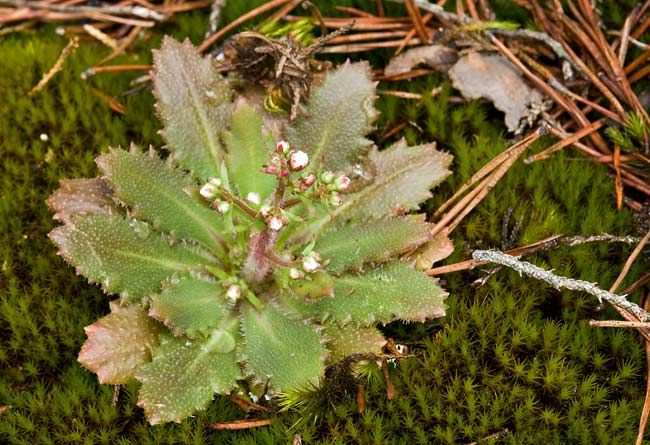 Cliff Saxifrage 1