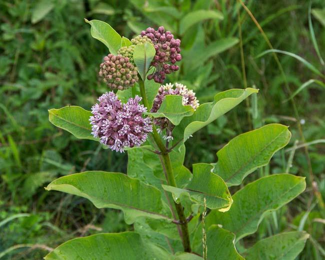 Common Milkweed 1