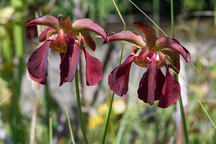 Mountain Sweet Pitcher Plant 3
