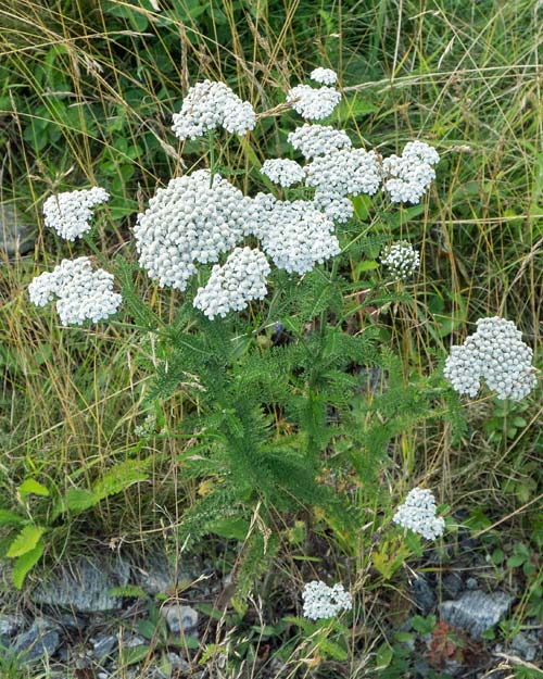 Common Yarrow 1