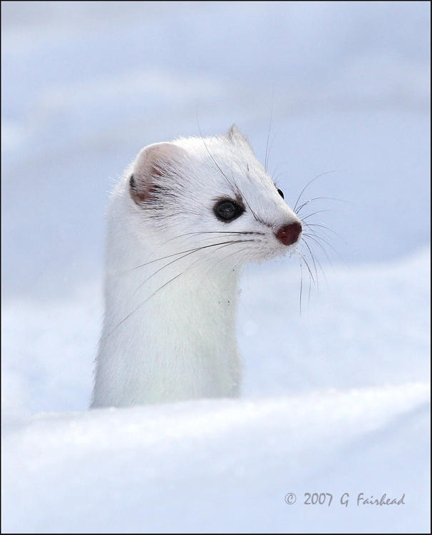 Weaser.jpg