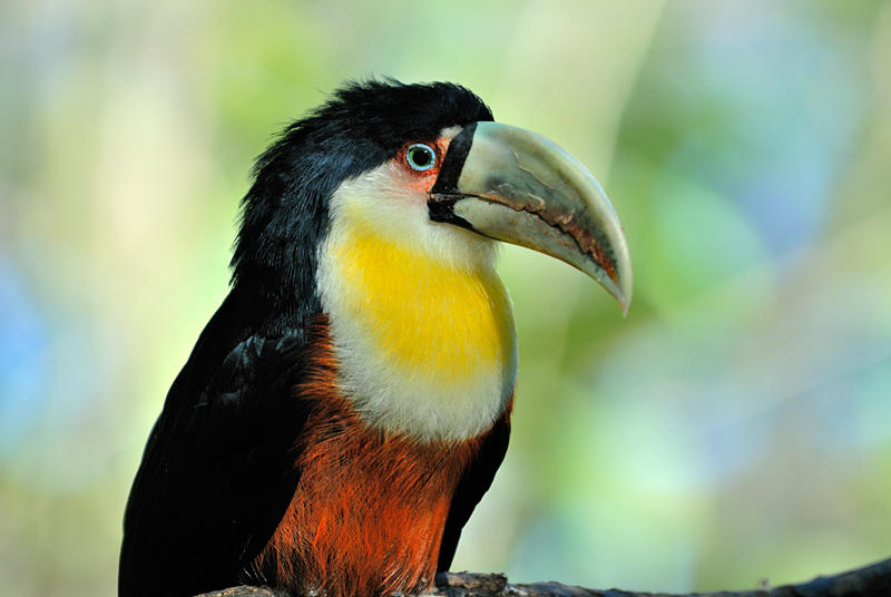Red-brested Toucan1
