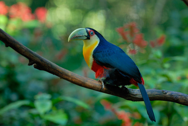 Red-Brested Toucan