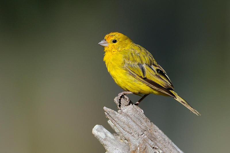 Saffron Finch2