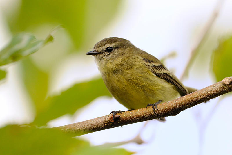 Greenish Tyrannulet