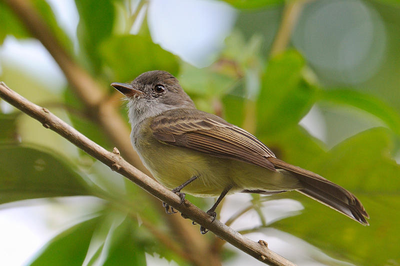 Swainsons Flycatcher