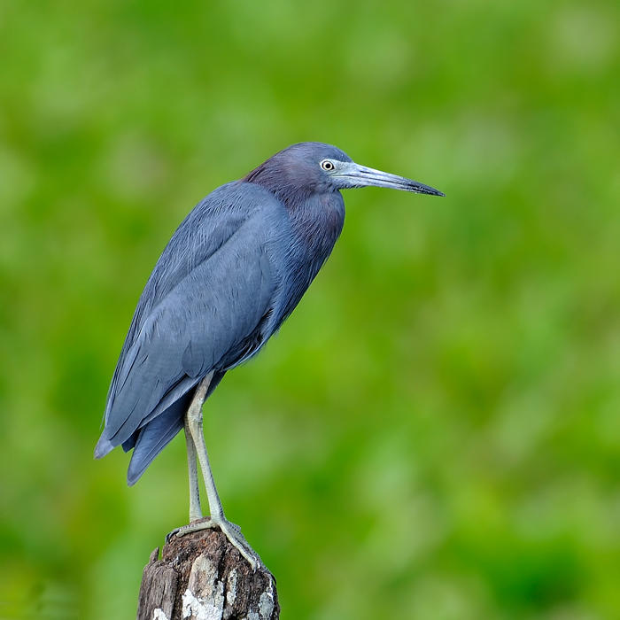 Little--blue Heron