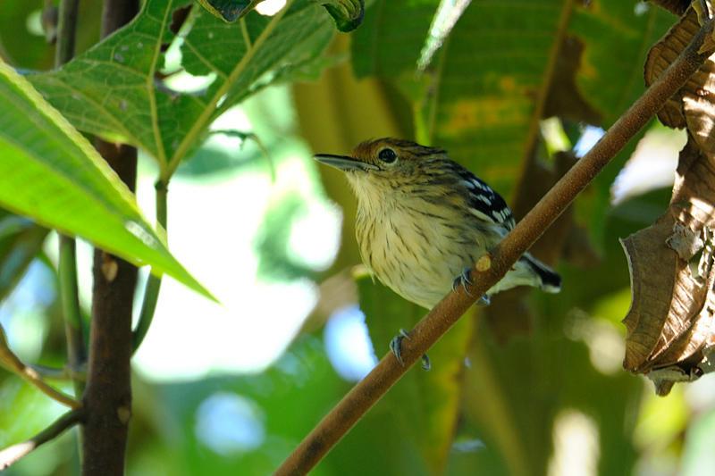 Amazonian-streaked Antwren-female