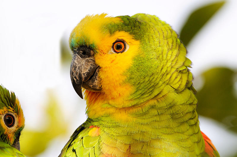 Yellow-faced- Parrot