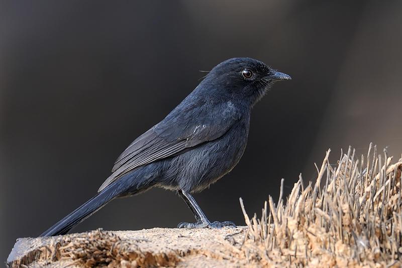 Northern-Black Flycatcher
