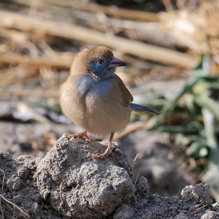 Red-cheeked Gordon-bleu female