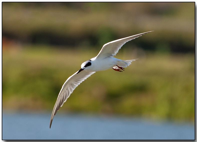 Fosters Tern