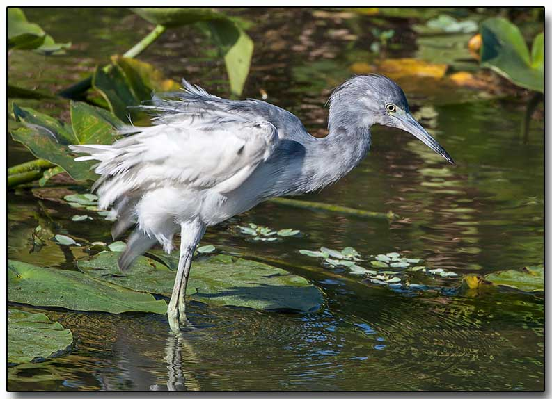 Little Blue Heron - juvenile