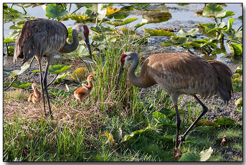 Sandhill Cranes with chicks