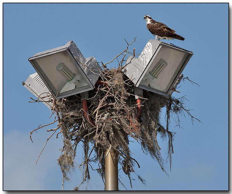 Osprey - is this nest taken?