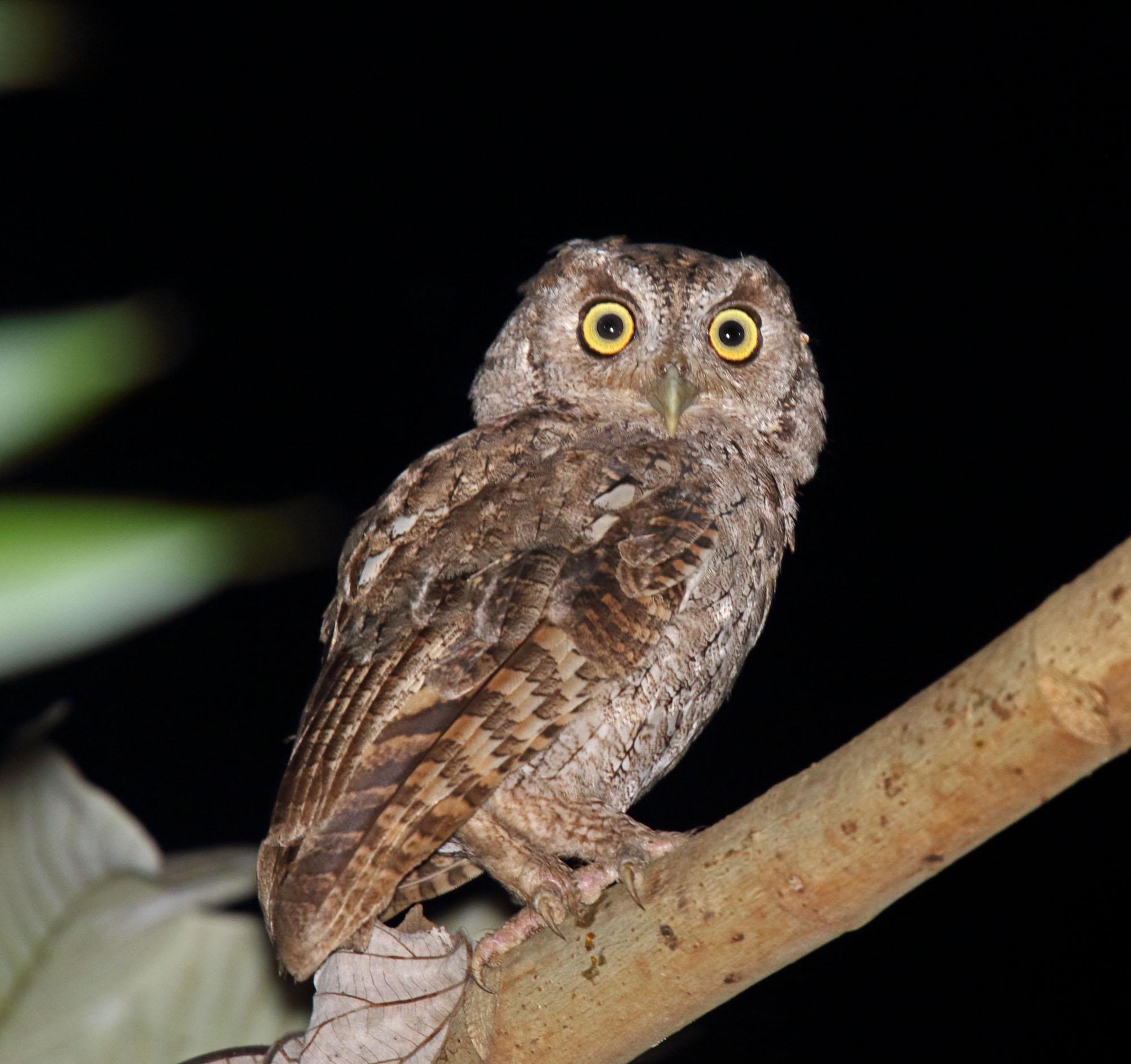 Pacific Screech-Owl_7360.jpg
