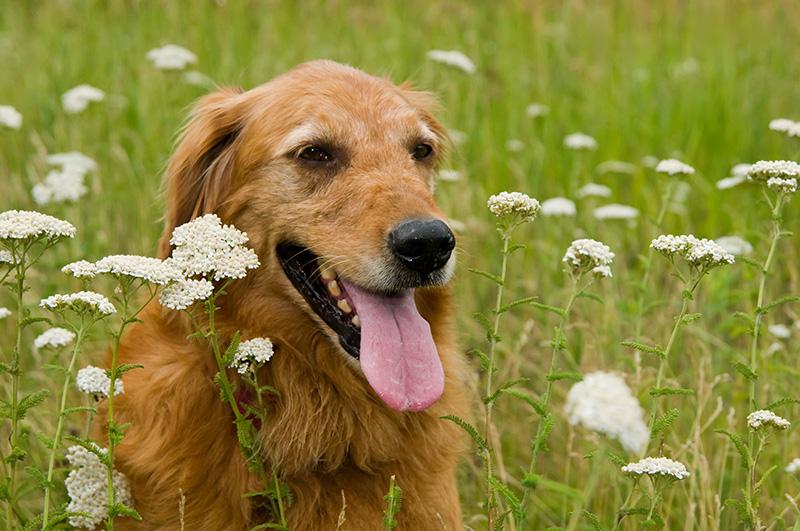 Bailey in prairie flowers