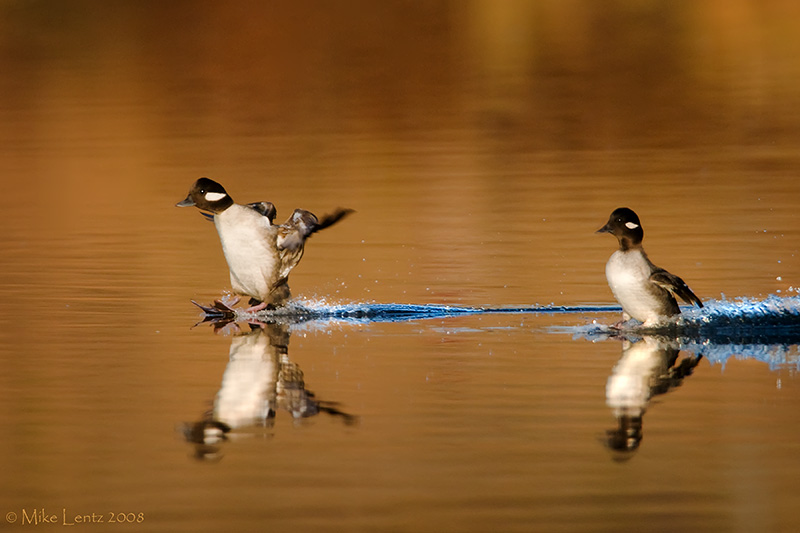 Dual female Buffleheads landing