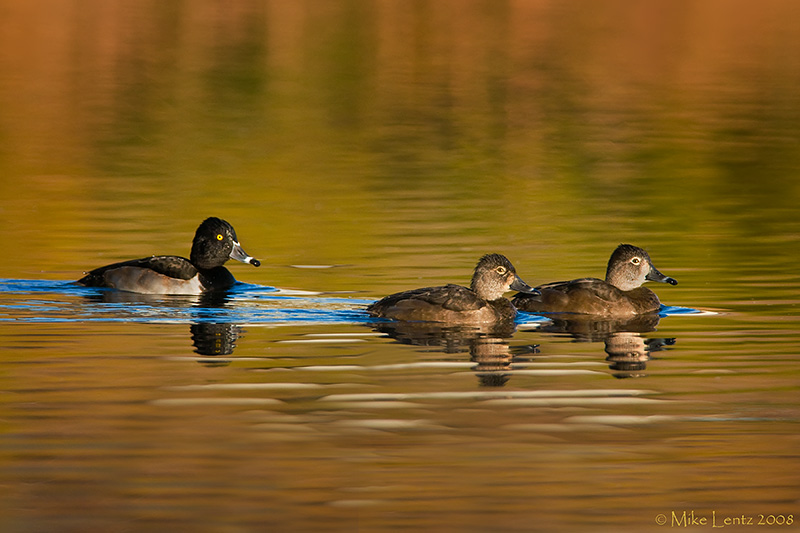 Ringneck trifecta on autumn silhouetted waters