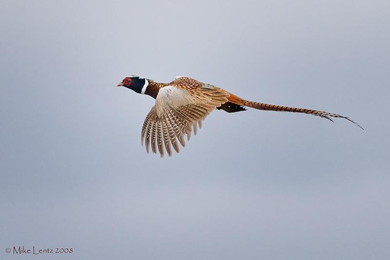 Rooster in flight