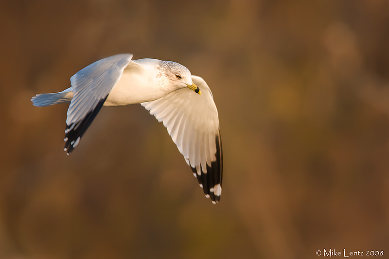Ring billed gull in sweet light
