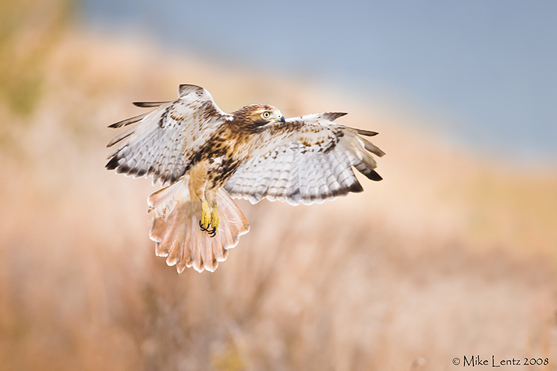 Redtail Hawk landing gear down