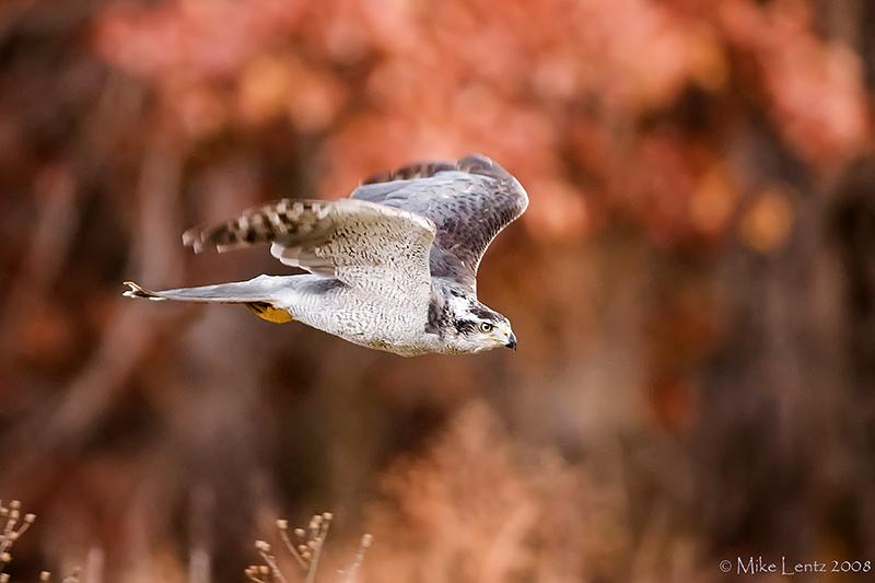 Goshawk in flight near Oaks