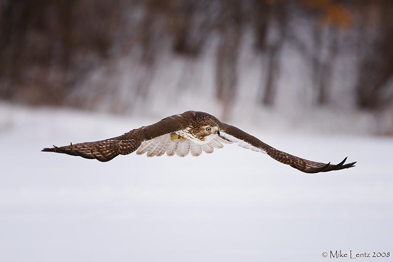 Redtail Hawk swoops over snow