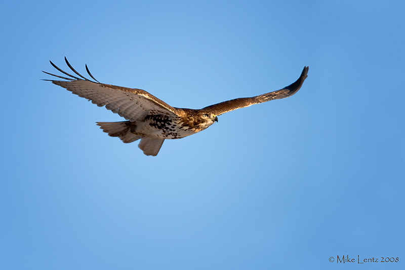 Redtail Hawk streamlined