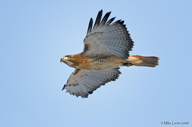 Redtail overhead