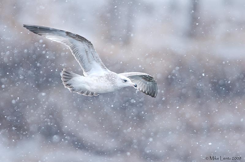 Ring billed gull in snow