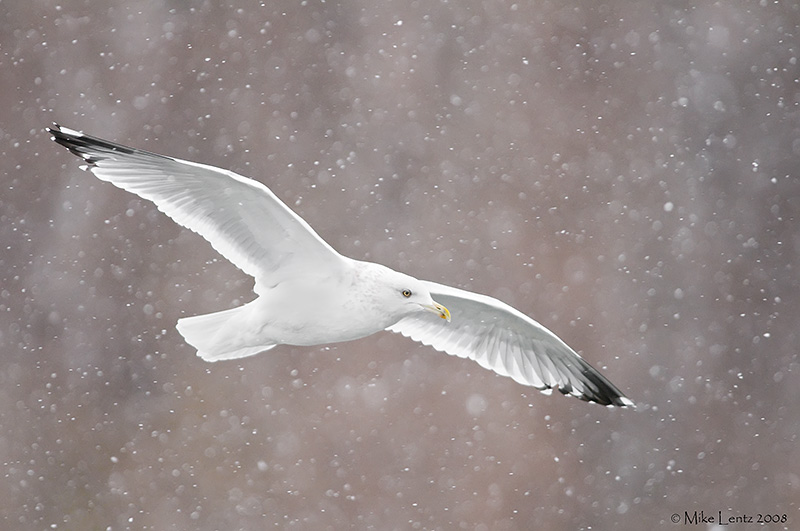 Ring billed gull snow beauty