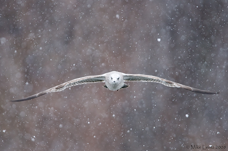Thayers gull straight on in snow