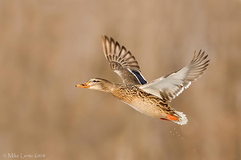 Mallard Hen taking off