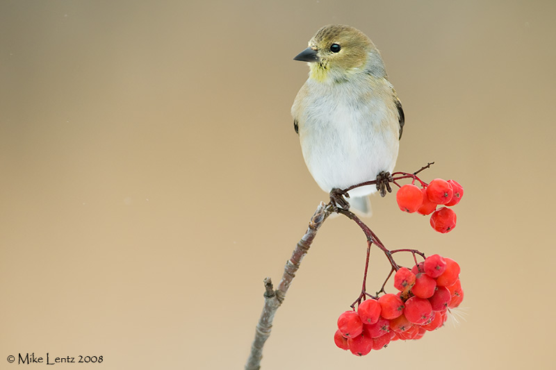 Goldfinch on winter berries
