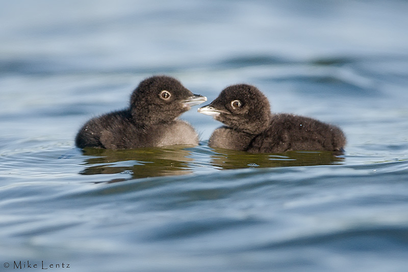 Loon siblings