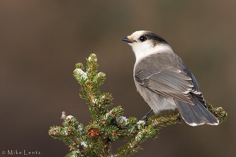 Gray Jay on pine top