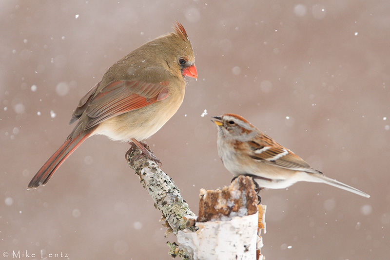 Cardinal and Amer tree sparrow in snow PS2.jpg