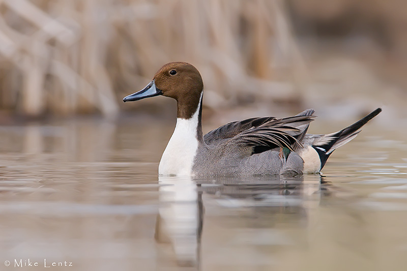 Northern Pintail (drake)