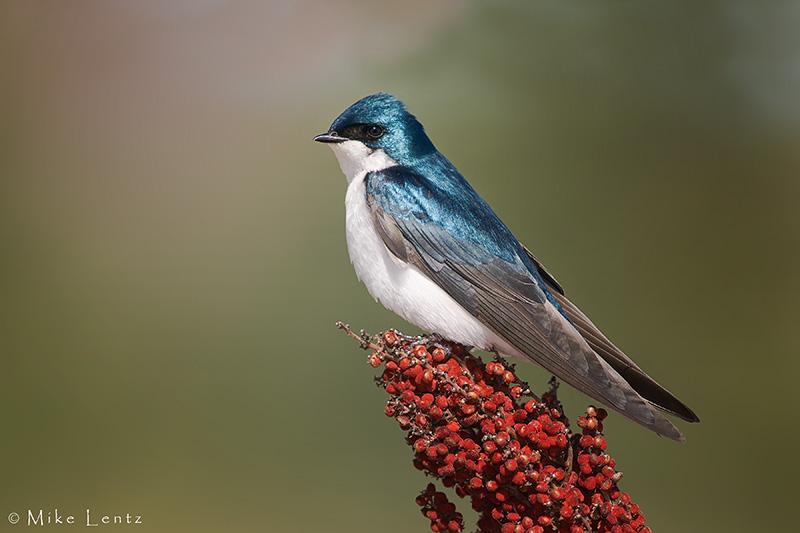 Tree Swallow on Sumac