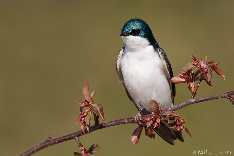 Tree Swallow on red buds