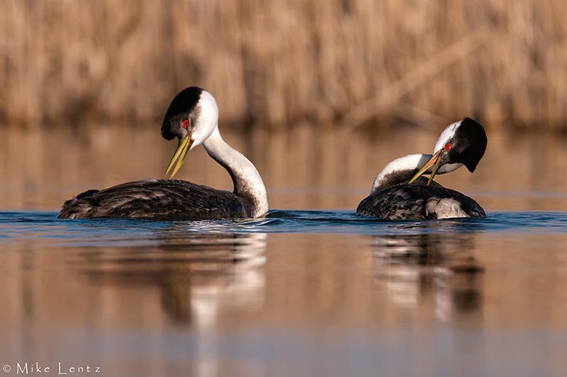 Western Grebes (courtship)