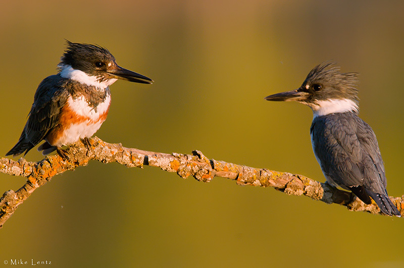 Belted Kingfisher couple