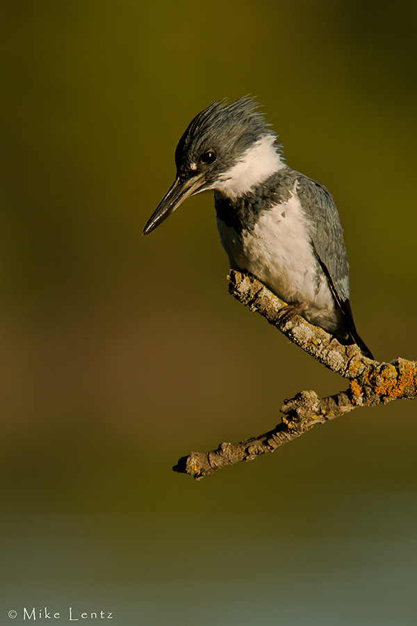 Belted Kingfisher (male) hunts above water