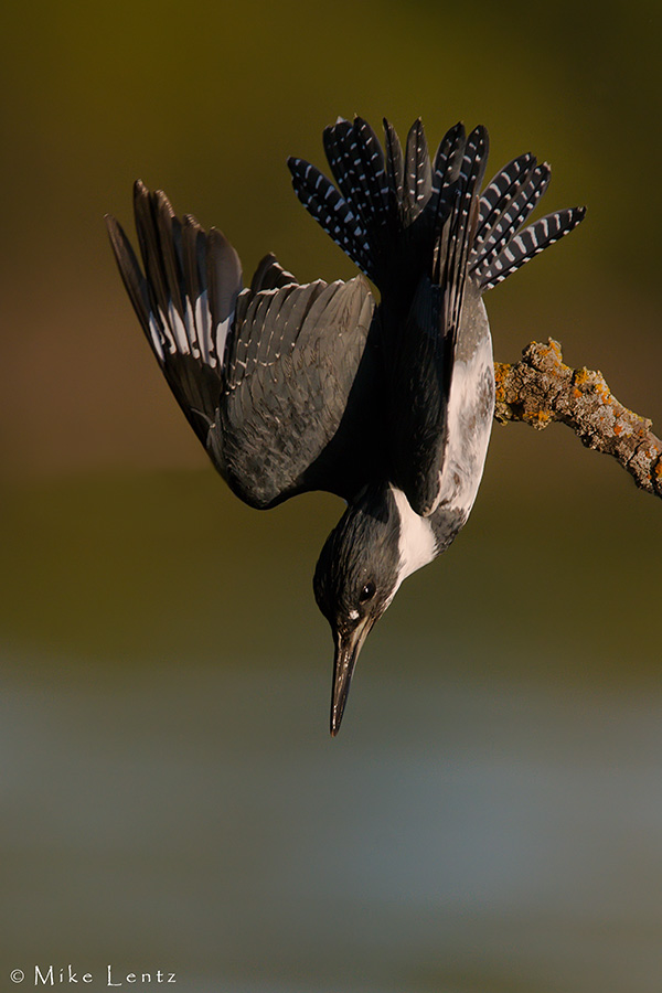 Belted Kingfisher hunting