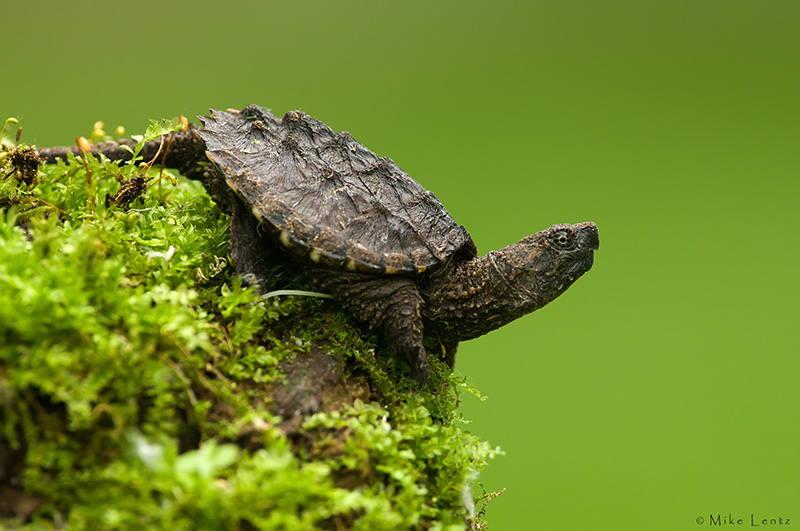 Snapping turtle (baby)