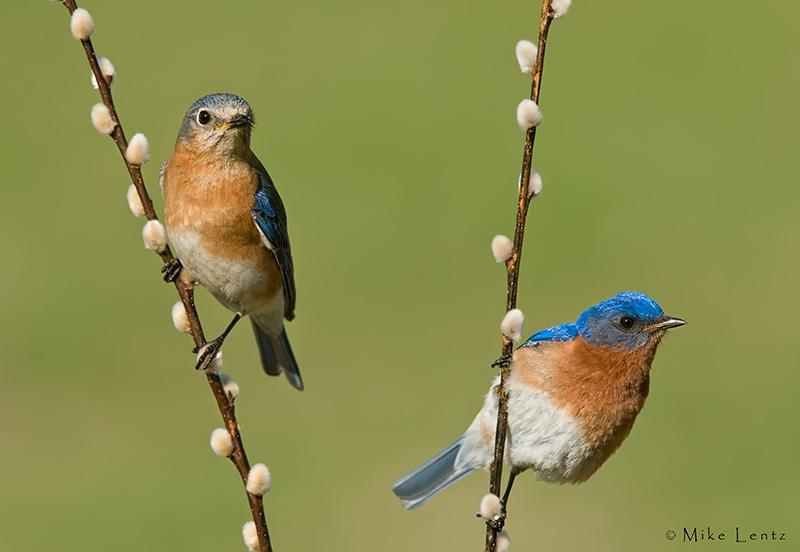 Bluebird combo on willows