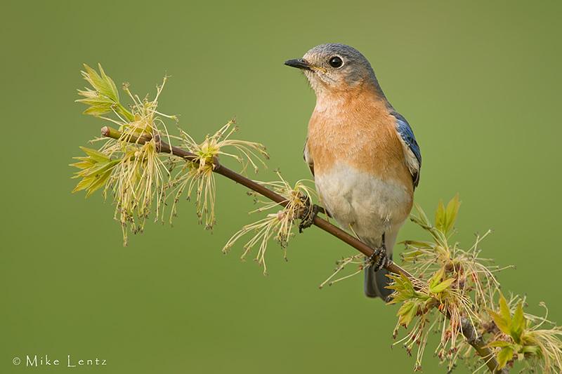 Eastern Bluebird on new growth