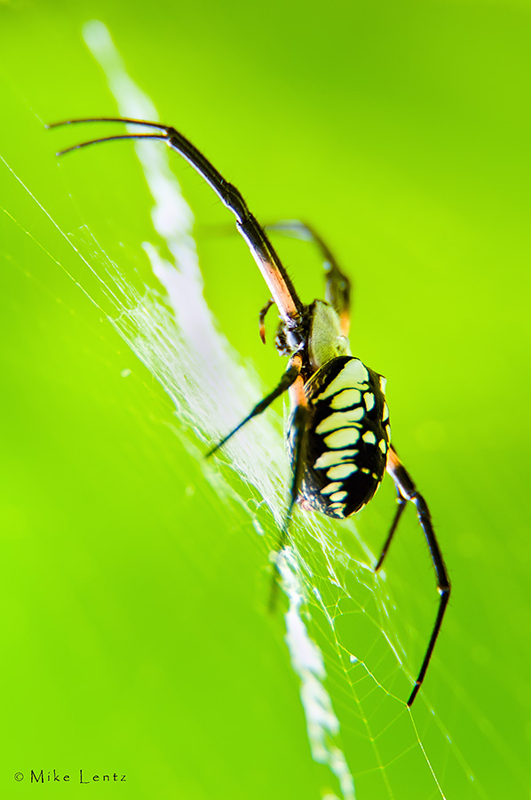 Black and yellow Argiope (female)